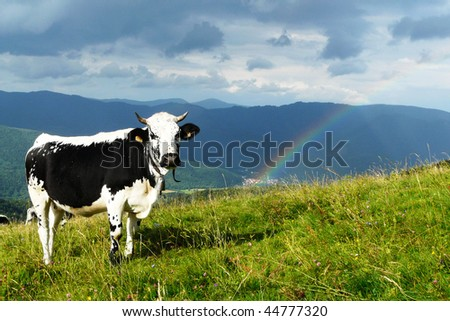 cow in the mountain - stock photo