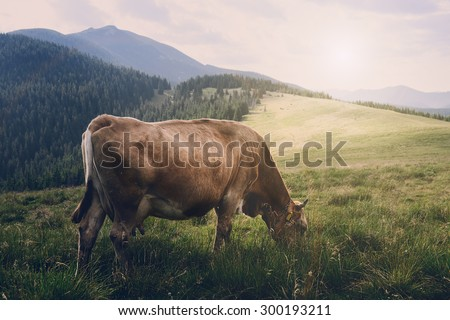 Cow in the mountains - stock photo