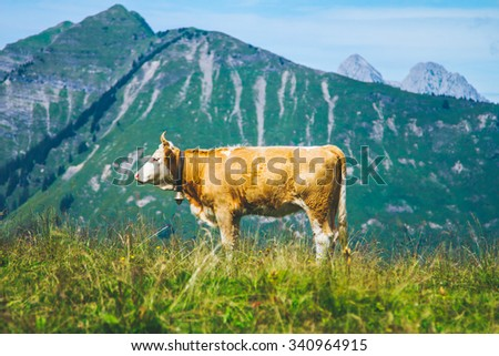 Cow in the Swiss Alps during summer time - stock photo