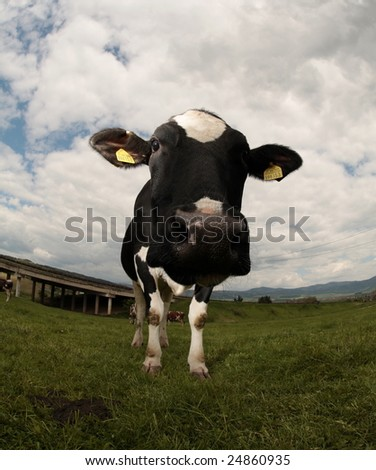 Cow (intentionally distorted by a fisheye lens) - stock photo