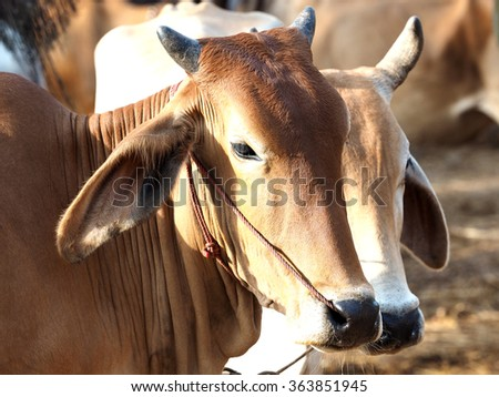 Cow is big animal eating grass green at hill side - stock photo