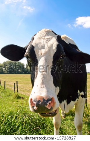 Cow is facing the camera