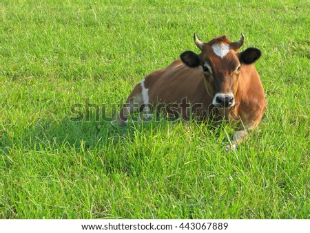 Cow is lying on green grass and has rest - stock photo
