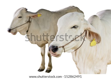 cow isolated - stock photo