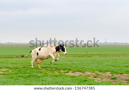 cow jumps in green meadow - stock photo