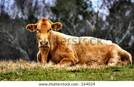 COw laying in a pasture