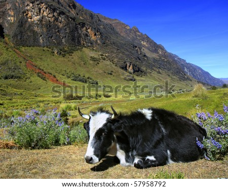 Cow laying on a green pasture - Cordillera Blanca in Peru