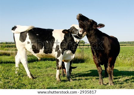 Cow licking another cow - stock photo