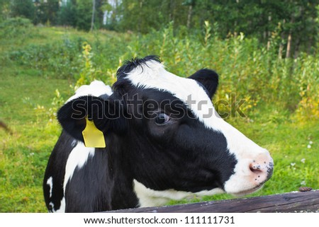 cow living in the country - stock photo