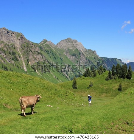 Cow looking at a hiker in the Swiss Alps, Switzerland