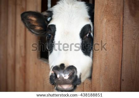 cow looking at camera - stock photo