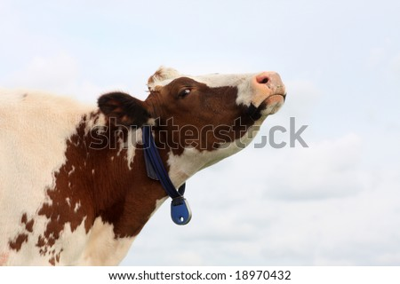 cow looking at the camera in a funny way - stock photo