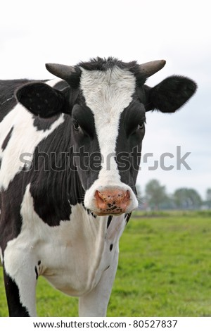 Cow looking in the lens - stock photo