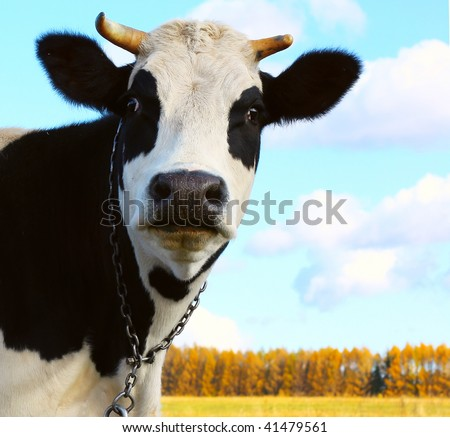 Cow looking to camera over autumn background - stock photo
