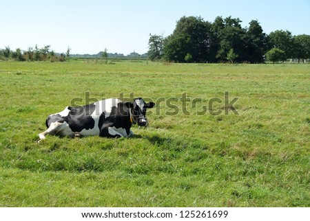 Cow lying down in a meadow - stock photo