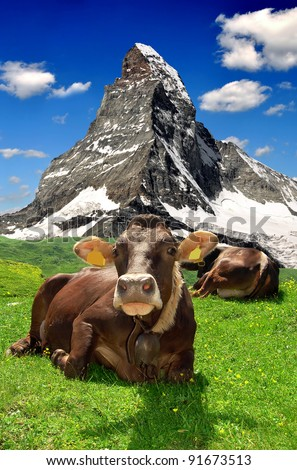 Cow lying in the meadow.In the background of the Matterhorn-Swiss Alps - stock photo