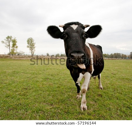 cow making faces - stock photo
