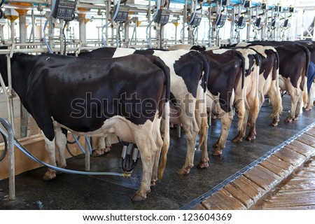 Cow milking facility and mechanized milking equipment in the milking hall - stock photo