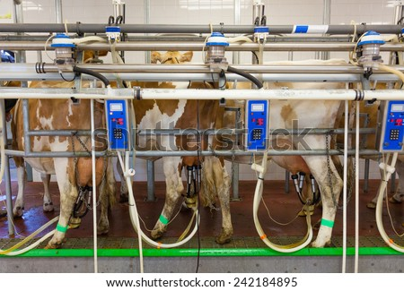 Cow milking facility in a modern farm - stock photo