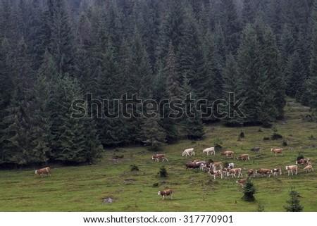 Cow mob - stock photo