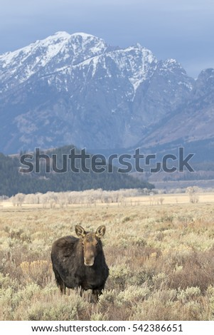 Cow moose in sagebrush meadow with mountains