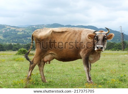 Cow on a green pasture in the mountains  - stock photo