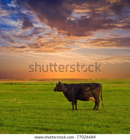 cow on a pasture at the evening - stock photo