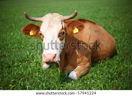 Cow on a pasture, on a green grass - stock photo