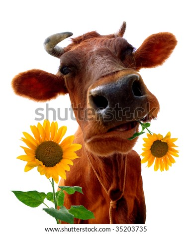 Cow on a white background. It is isolated - stock photo