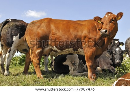 cow on farmland - stock photo