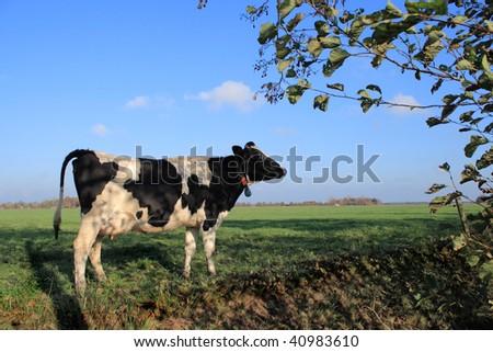 Cow on farmland, Drenthe, The Netherlands - stock photo