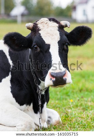 cow on farmland with fresh green grass - stock photo