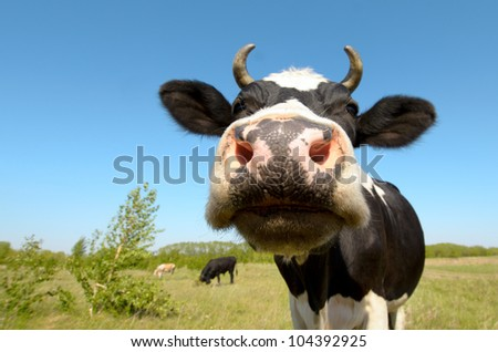 cow on grassland,  put  muzzle close-up on camera, sun summer day - stock photo