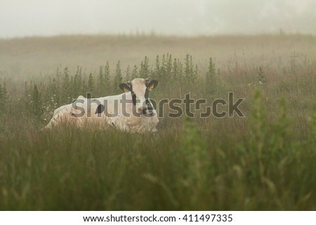 Cow on green field with fog in Poland - stock photo