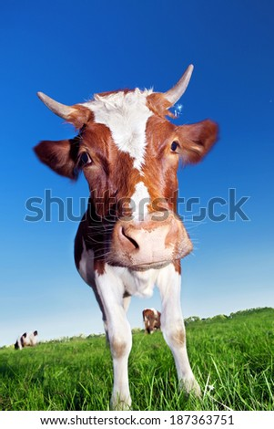Cow on green grass and blue sky. - stock photo