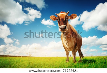 Cow on green grass and blue sky with clouds - stock photo