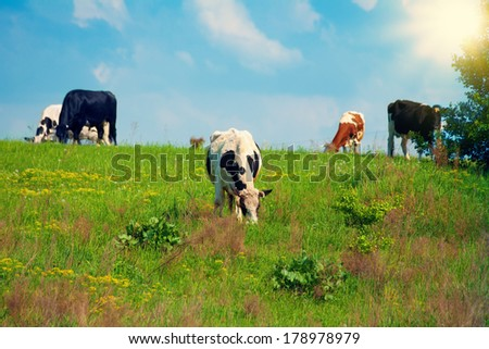 Cow on green grass and blue sky with sun - stock photo