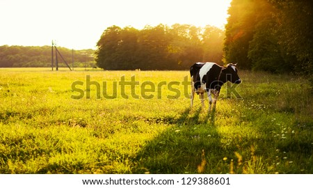 Cow on green grass and evening sky with light - stock photo