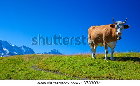 Cow on high mountain meadow.