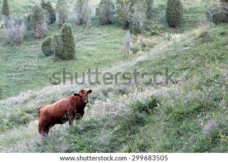 Cow on hilly pasture at summer morning in Hantalan notko, Somero, Southern Finland.