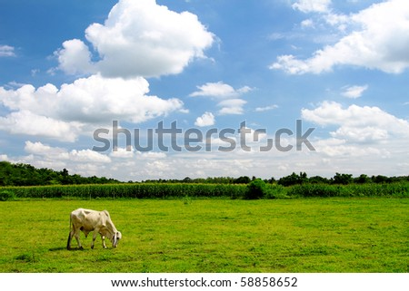 cow on meadow