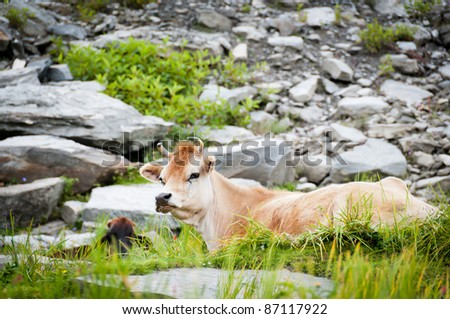 Cow on mountains pasture, with stone slope on background