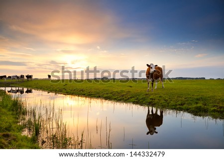 cow on pasture reflected in river at sunrise, Groningen, Netherlands - stock photo