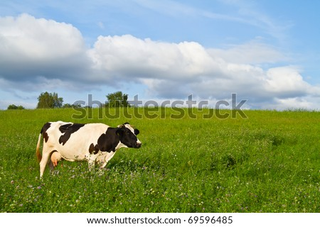 cow on spring meadow - stock photo