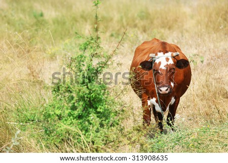 Cow on summer pasture - stock photo