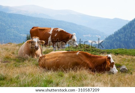 Cow on the alpine meadow - stock photo