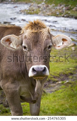 Cow on the European Alp. A cow is standing at an alpine meadow in the European Alps, Kaunertal, Austria. - stock photo