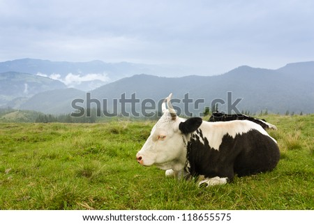 Cow on the grazing