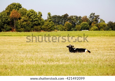 cow on the green grass meadow - stock photo