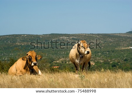 Cow on the pasture, nature outdoor